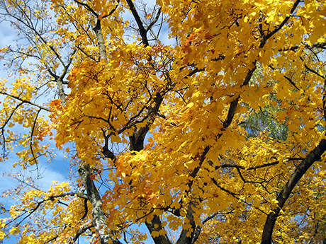 yellow-orange leaves and blue sky
