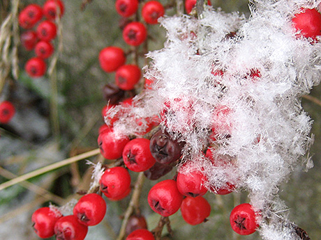 Red berries and fluffy snow